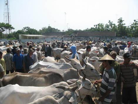 Sapi di Pasar Pahing