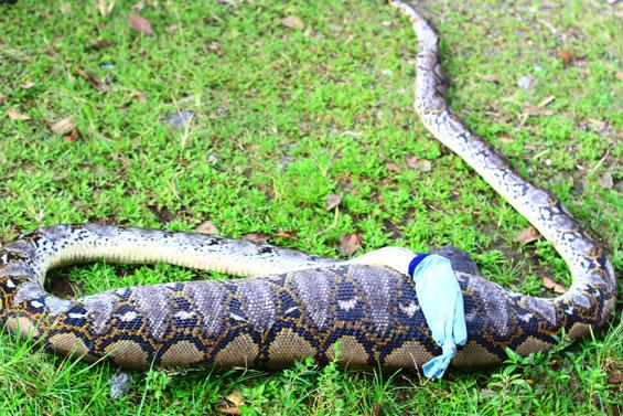 Foto ular terbesar di kalimantan tengah 38