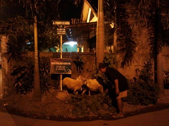 Pak Yusuf sedang memberi makan domba yang dikat di penanda jalan depan mushola
