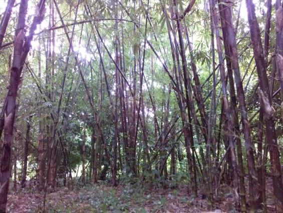 Kebun bambu di tepian Sungai Ciberang.